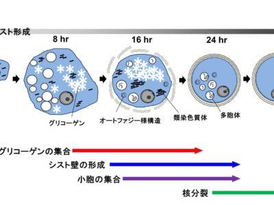 見市講師の赤痢アメーバのシスト形成の電子顕微鏡解析の論文がParasitologyにアクセプトになりました。
